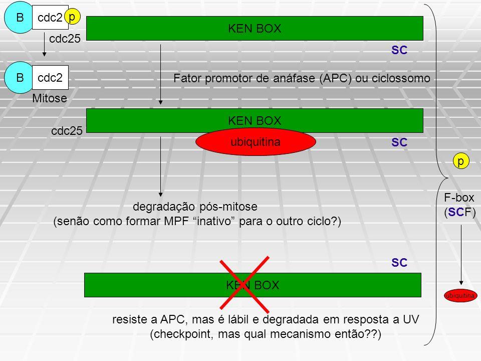 Metodologia Culturas de células, sincronização e transfecção; Plasmídios (Flag- e His- tagged Cdc25A mutantes); Imunoblotting, imunopreciptação e tratamento com fosfatase; Ensaio de ligação com peptídeo; Ubiquitinação in vivo; siRNA; Ensaio de síntese de DNA radio-resistente.