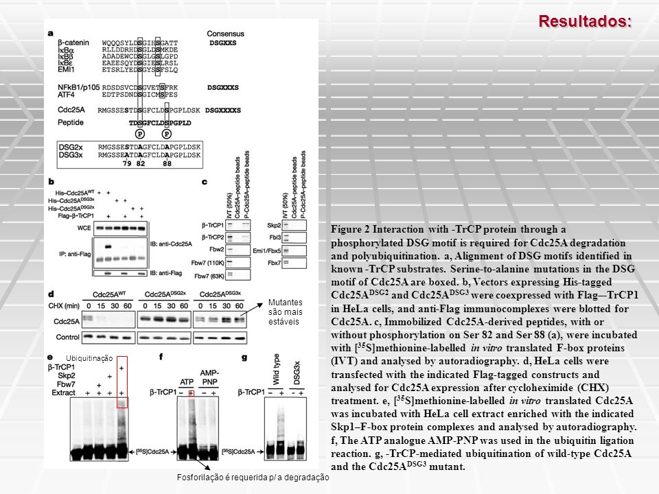 Figure 3 -TrCP controls Cdc25A abundance during progression of S phase.