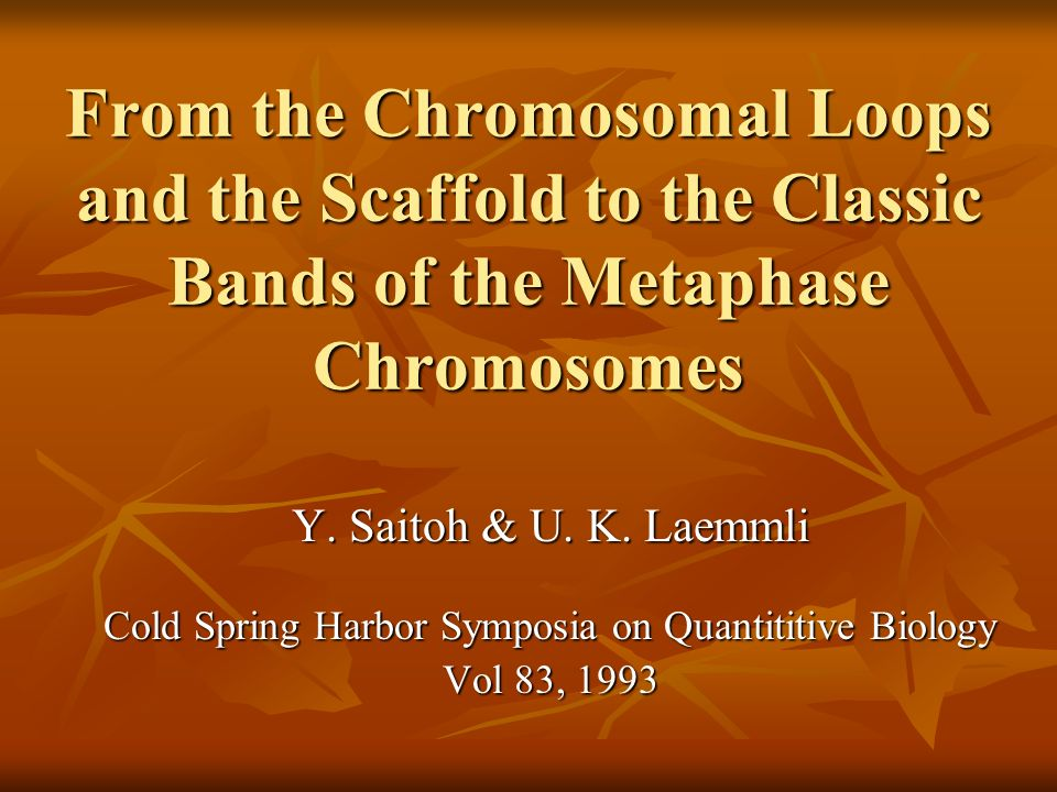From the Chromosomal Loops and the Scaffold to the Classic Bands of the Metaphase Chromosomes Y. Saitoh & U. K. Laemmli Cold Spring Harbor Symposia on