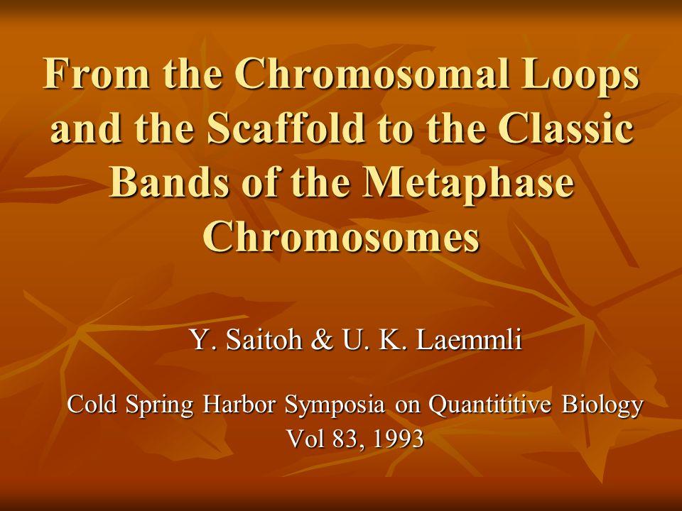 Loops da Cromatina O estudo da estrutura dos cromossomos: O estudo da estrutura dos cromossomos: Microscopia ótica: muito grosseira Microscopia ótica: muito grosseira Microscopia eletrônica: muito detalhada Microscopia eletrônica: muito detalhada Métodos bioquímicos: interferências destrutivas Métodos bioquímicos: interferências destrutivas Em seu estado original, os cromossomos aparentam ser apenas estruturas cilíndricas, preenchidos homogeneamente com fibras nucleoprotéicas Em seu estado original, os cromossomos aparentam ser apenas estruturas cilíndricas, preenchidos homogeneamente com fibras nucleoprotéicas