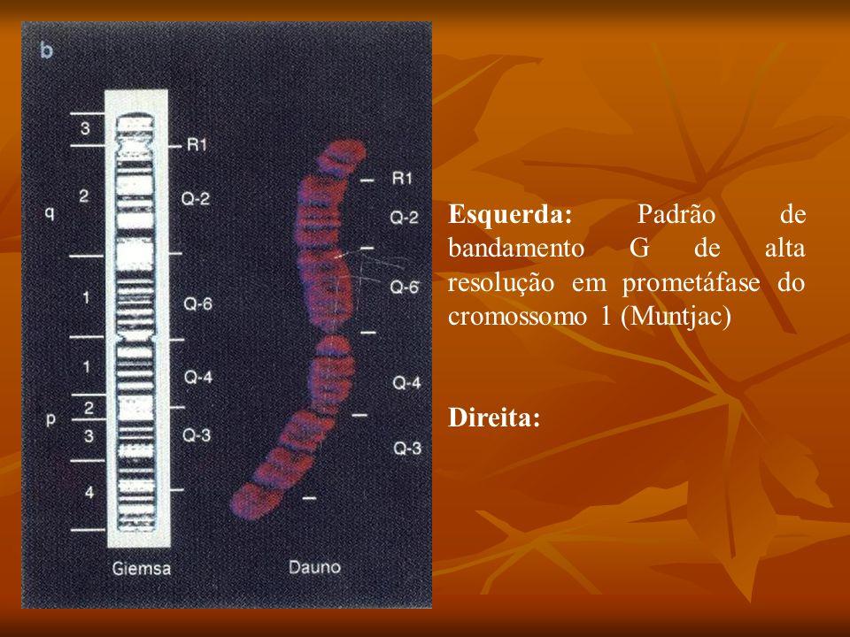 Esquerda: Padrão de bandamento G de alta resolução em prometáfase do cromossomo 1 (Muntjac) Direita: