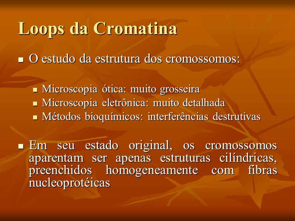 Loops da Cromatina O estudo da estrutura dos cromossomos: O estudo da estrutura dos cromossomos: Microscopia ótica: muito grosseira Microscopia ótica: