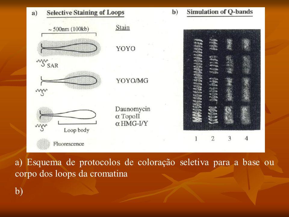 a) Esquema de protocolos de coloração seletiva para a base ou corpo dos loops da cromatina b)
