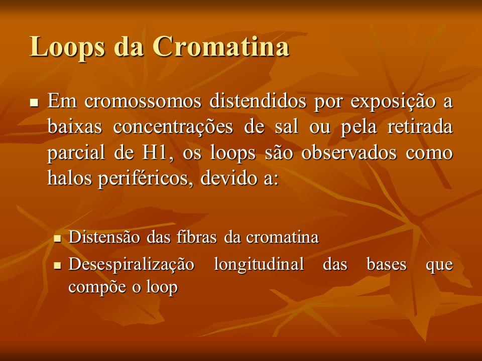 Loops da Cromatina Em cromossomos distendidos por exposição a baixas concentrações de sal ou pela retirada parcial de H1, os loops são observados como