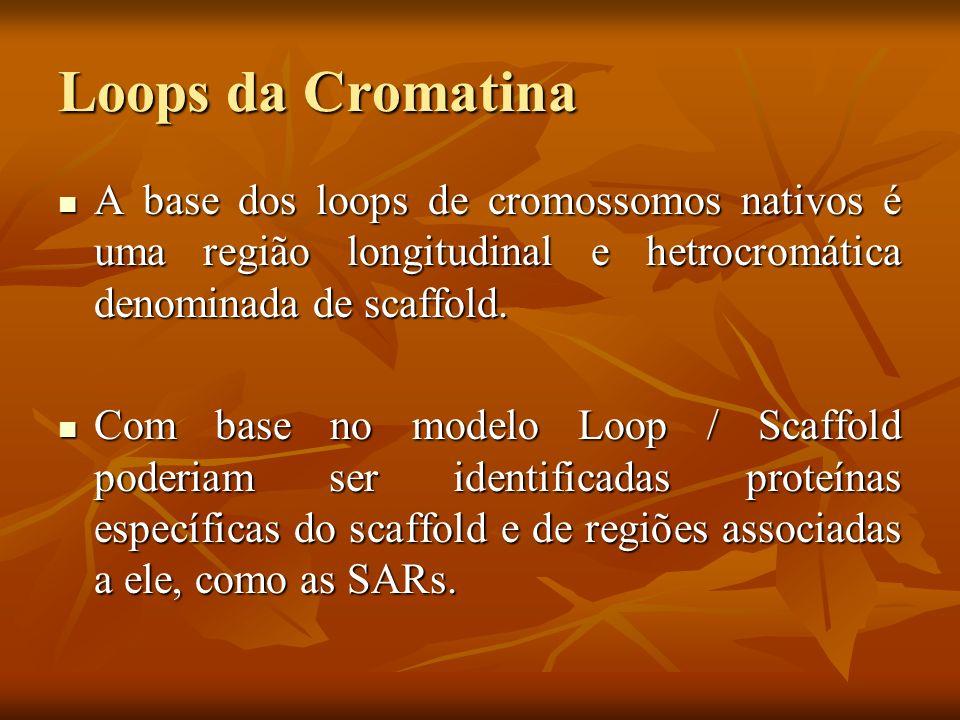 Loops da Cromatina A base dos loops de cromossomos nativos é uma região longitudinal e hetrocromática denominada de scaffold. A base dos loops de crom