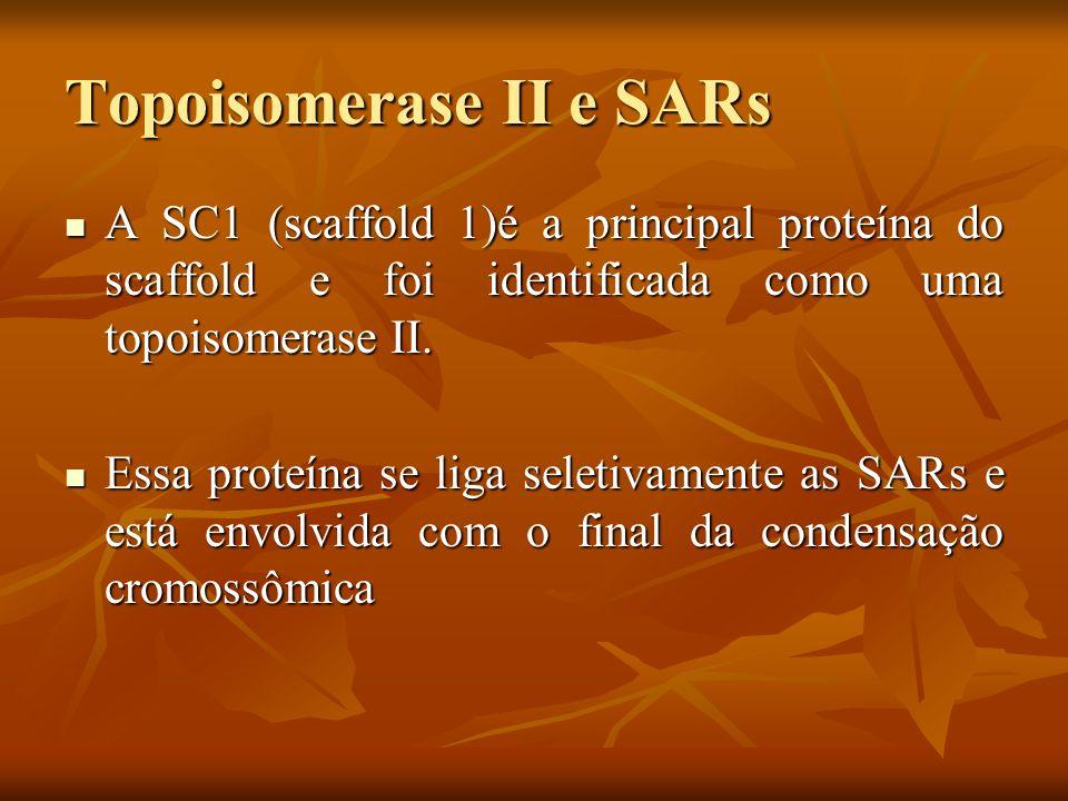 Topoisomerase II e SARs As SRAs são os possíveis constituintes da base dos loops da cromatina e são regiões ricas em AT (cerca de 65 %).
