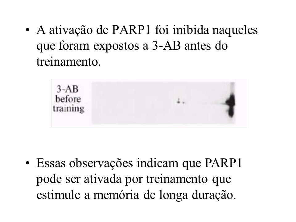 A ativação de PARP1 foi inibida naqueles que foram expostos a 3-AB antes do treinamento. Essas observações indicam que PARP1 pode ser ativada por trei