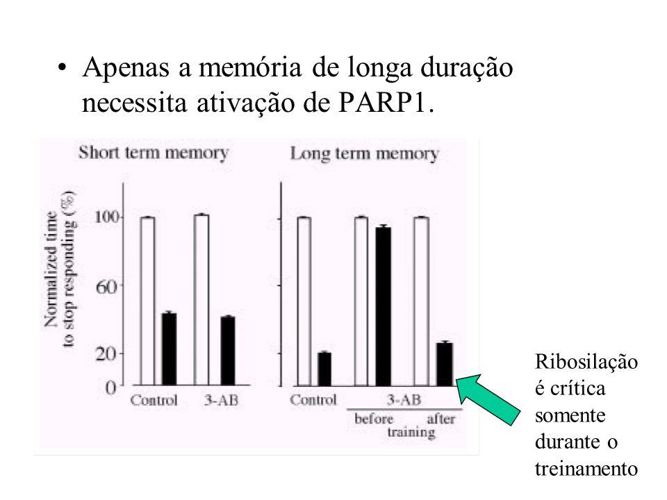 Apenas a memória de longa duração necessita ativação de PARP1. Ribosilação é crítica somente durante o treinamento