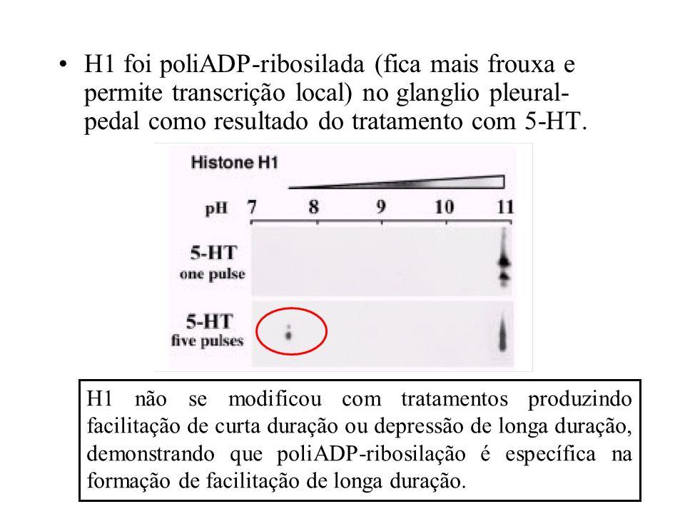 H1 foi poliADP-ribosilada (fica mais frouxa e permite transcrição local) no glanglio pleural- pedal como resultado do tratamento com 5-HT. H1 não se m