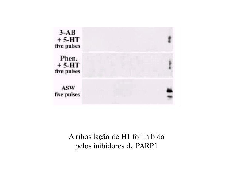 A ribosilação de H1 foi inibida pelos inibidores de PARP1