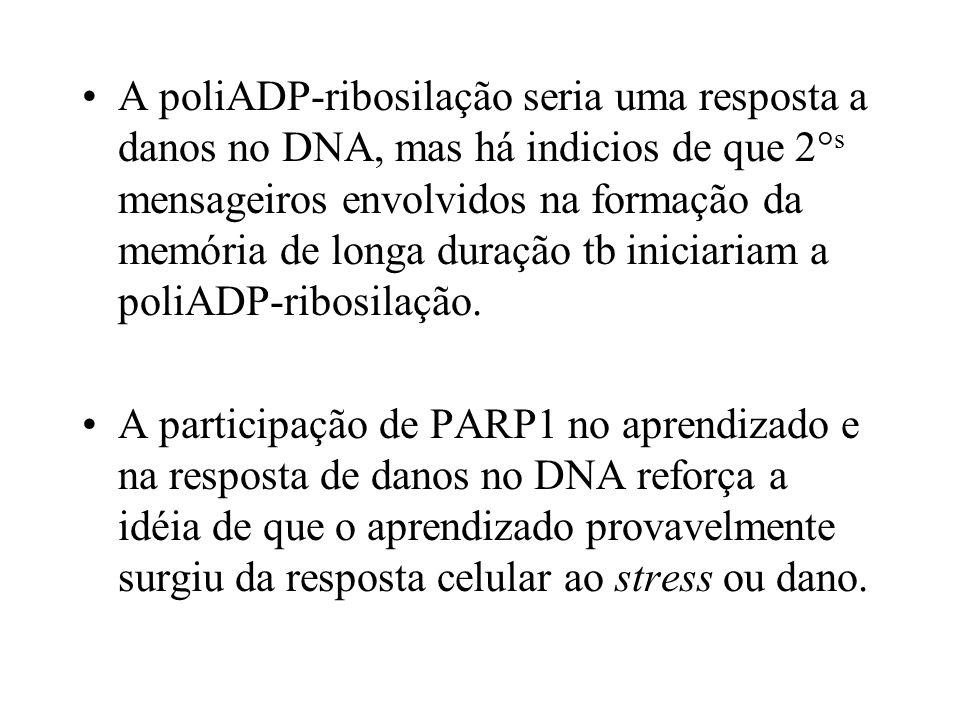 A poliADP-ribosilação seria uma resposta a danos no DNA, mas há indicios de que 2° s mensageiros envolvidos na formação da memória de longa duração tb