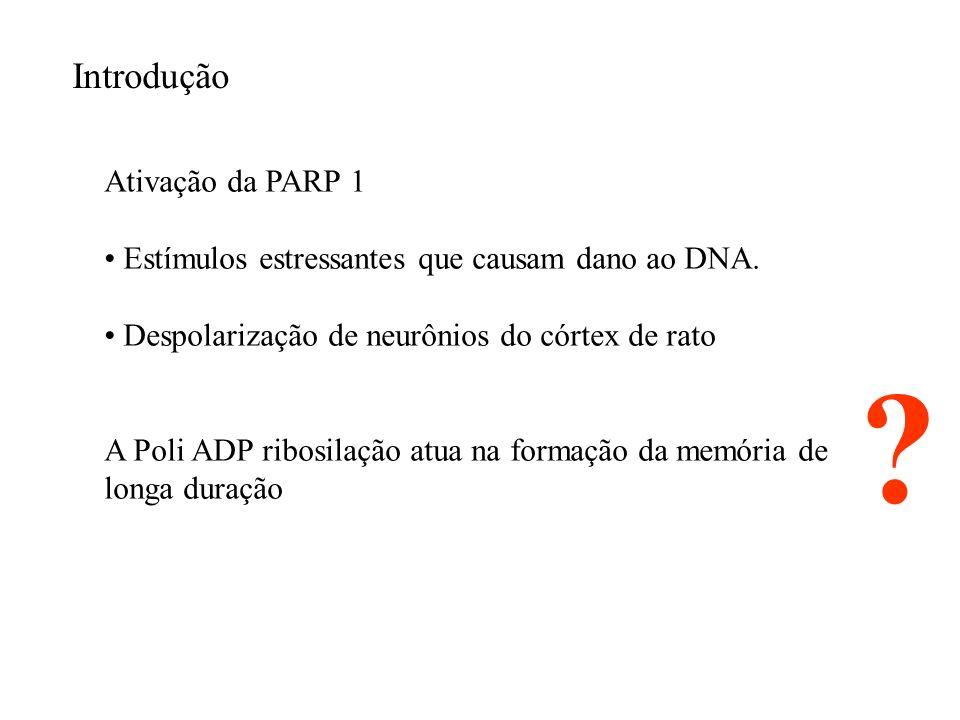 Ativação da PARP 1 Estímulos estressantes que causam dano ao DNA. Despolarização de neurônios do córtex de rato A Poli ADP ribosilação atua na formaçã