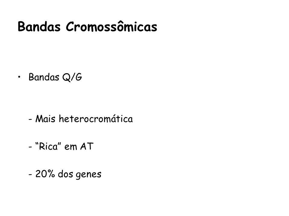 Bandas Q/G - Mais heterocromática - Rica em AT - 20% dos genes Bandas Cromossômicas
