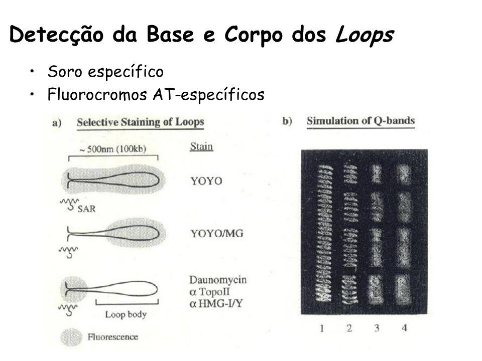 Detecção da Base e Corpo dos Loops Soro específico Fluorocromos AT-específicos