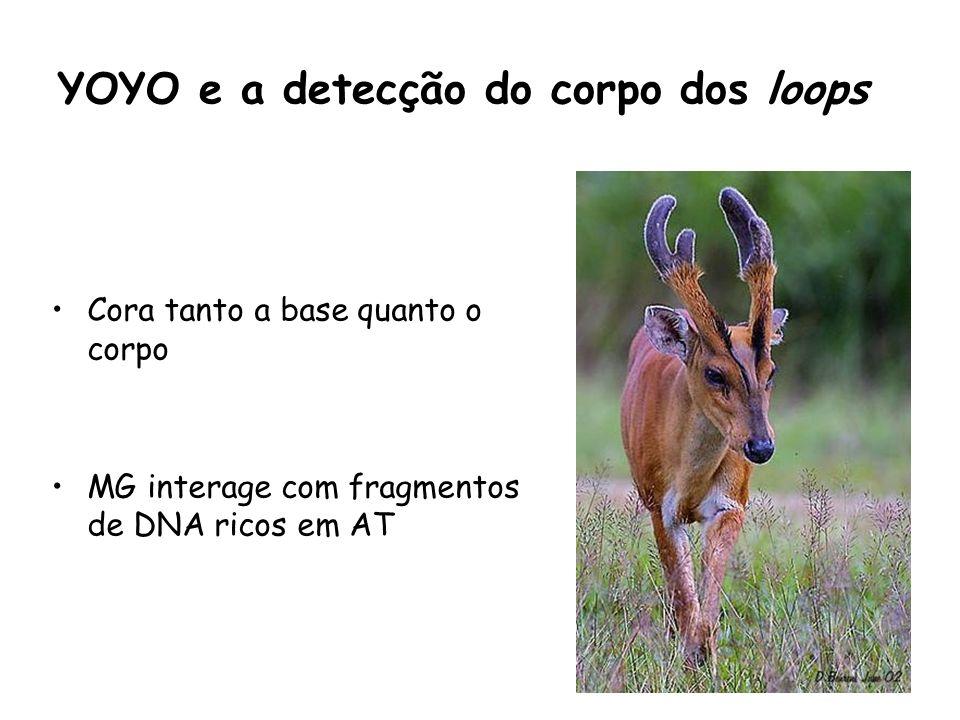 YOYO e a detecção do corpo dos loops Cora tanto a base quanto o corpo MG interage com fragmentos de DNA ricos em AT