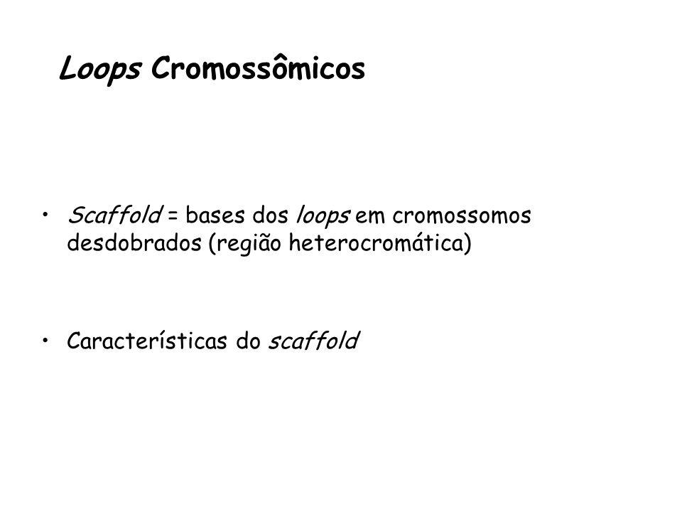 Scaffold = bases dos loops em cromossomos desdobrados (região heterocromática) Características do scaffold Loops Cromossômicos
