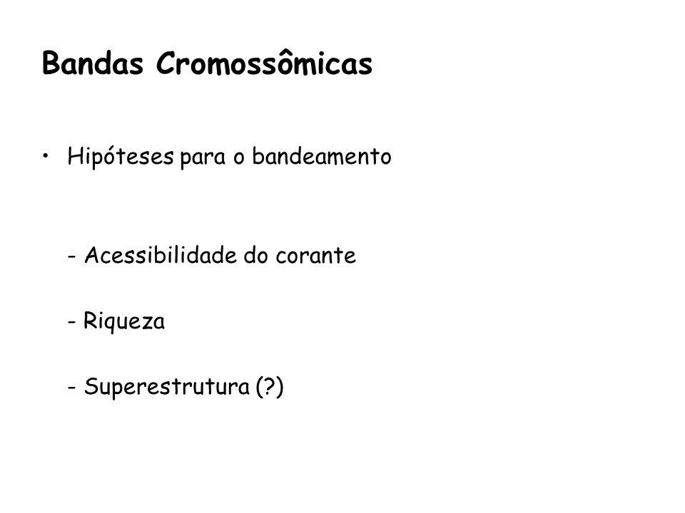 Hipóteses para o bandeamento - Acessibilidade do corante - Riqueza - Superestrutura (?) Bandas Cromossômicas
