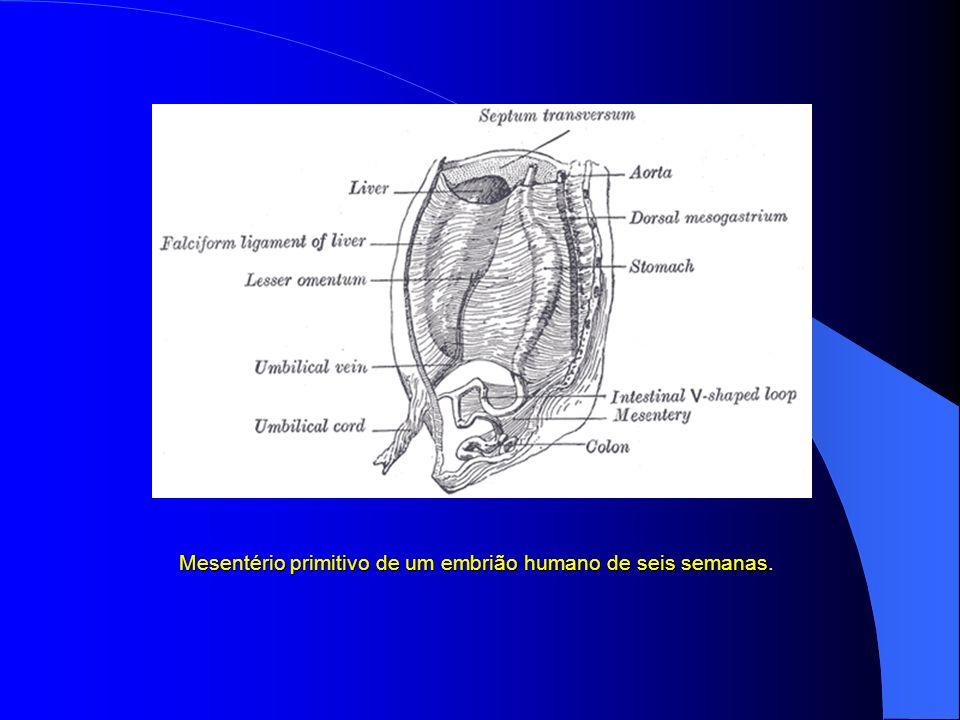 Parte abdominal do tubo digestivo e suas ligações com o mesentério comum ou primitivo.