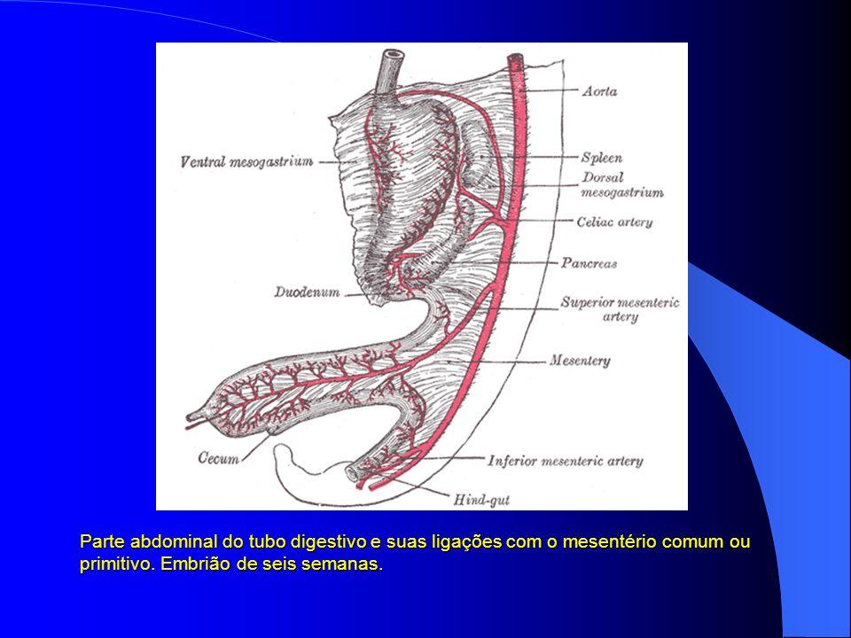 Parte abdominal do tubo digestivo e suas ligações com o mesentério comum ou primitivo. Embrião de seis semanas.