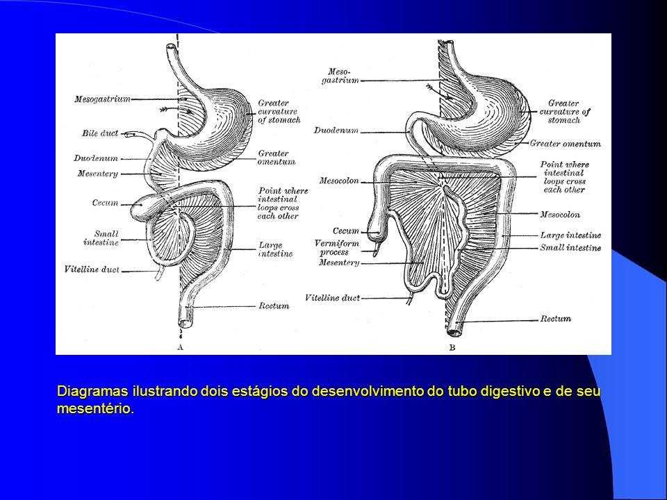 Diagramas ilustrando dois estágios do desenvolvimento do tubo digestivo e de seu mesentério.