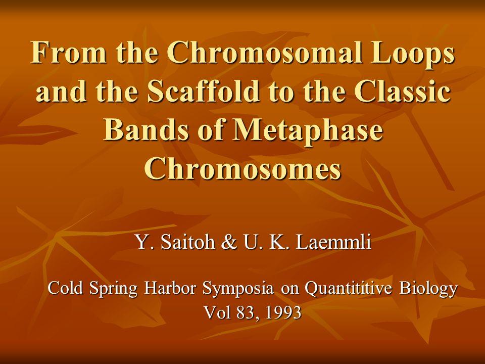 Modelo de Loops/Scaffold de Cromossomos Nativos A construção das bandas R pode ser representada por este modelo como um scaffold central circundado por loops periféricos.