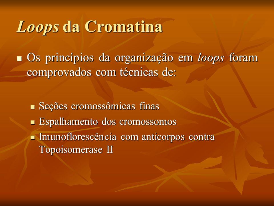 Detecção do Corpo dos Loops O corante YOYO é um fluorocromo que cora todo o loop da cromatina.