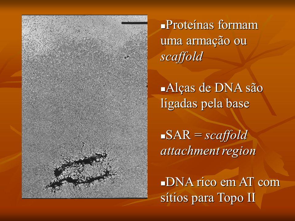 Complementaridade entre as Bandas Um cromossomo exposto a YOYO se cora homogeneamente, o que implicaria: Um cromossomo exposto a YOYO se cora homogeneamente, o que implicaria: Baixa concentração de DNA nas bandas R Baixa concentração de DNA nas bandas R Cromatina mais aberta Cromatina mais aberta Comparando as colorações feitas com YOYO/MG e Dauno, observa-se um padrão complementar nas bandas R Comparando as colorações feitas com YOYO/MG e Dauno, observa-se um padrão complementar nas bandas R
