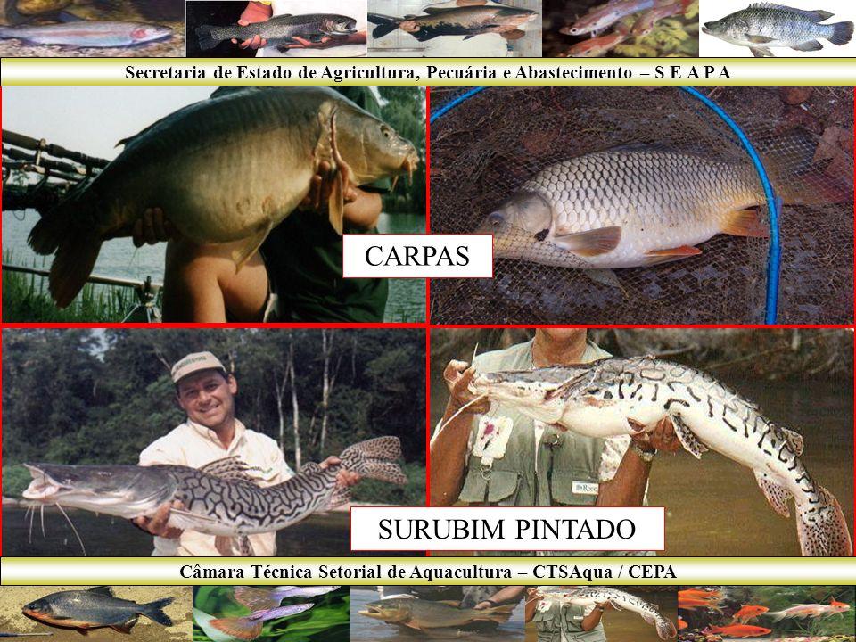 TILÁPIA DOURADO Secretaria de Estado de Agricultura, Pecuária e Abastecimento – S E A P A Câmara Técnica Setorial de Aquacultura – CTSAqua / CEPA