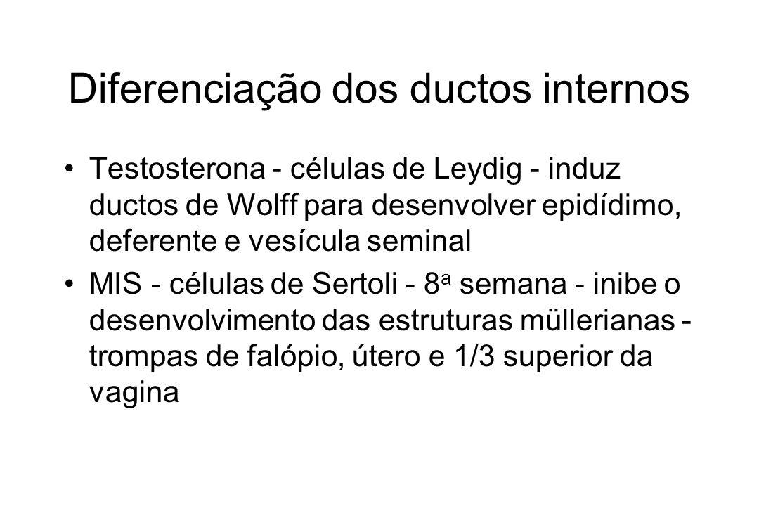Diferenciação dos ductos internos Testosterona - células de Leydig - induz ductos de Wolff para desenvolver epidídimo, deferente e vesícula seminal MI