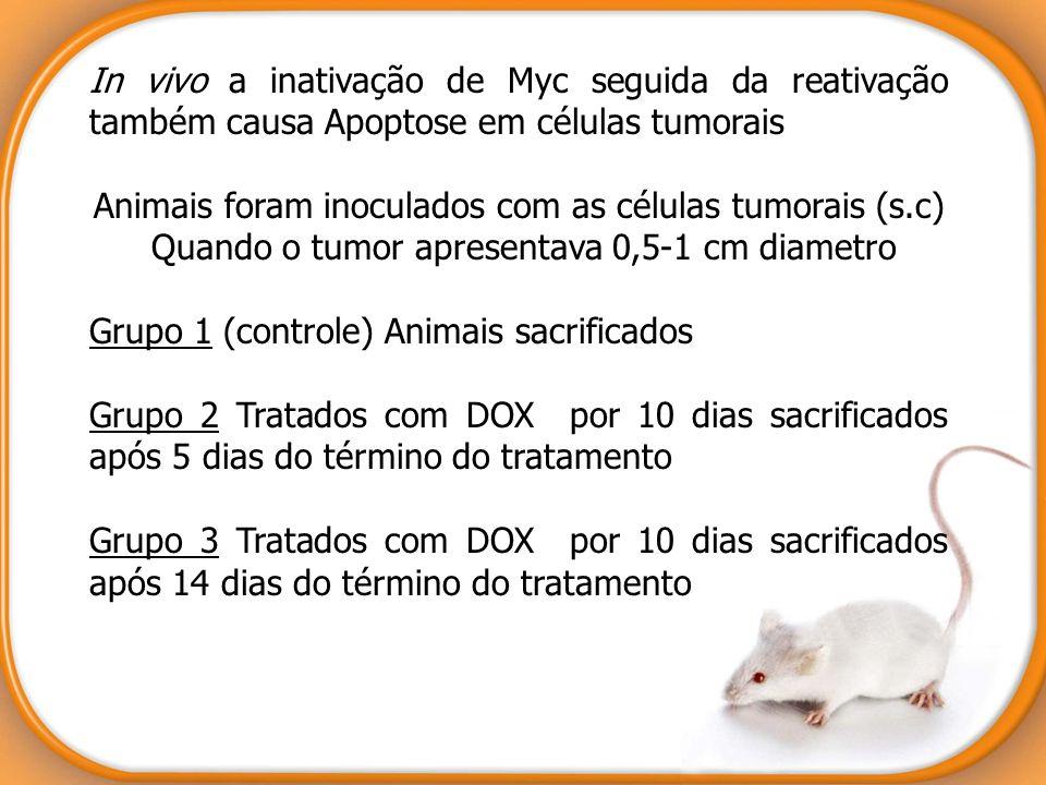 In vivo a inativação de Myc seguida da reativação também causa Apoptose em células tumorais Animais foram inoculados com as células tumorais (s.c) Qua