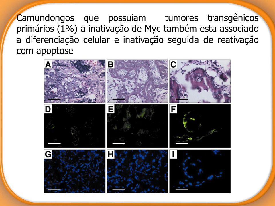 Camundongos que possuiam tumores transgênicos primários (1%) a inativação de Myc também esta associado a diferenciação celular e inativação seguida de