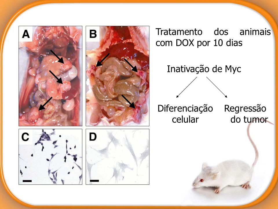 Tratamento dos animais com DOX por 10 dias Inativação de Myc Diferenciação Regressão celular do tumor