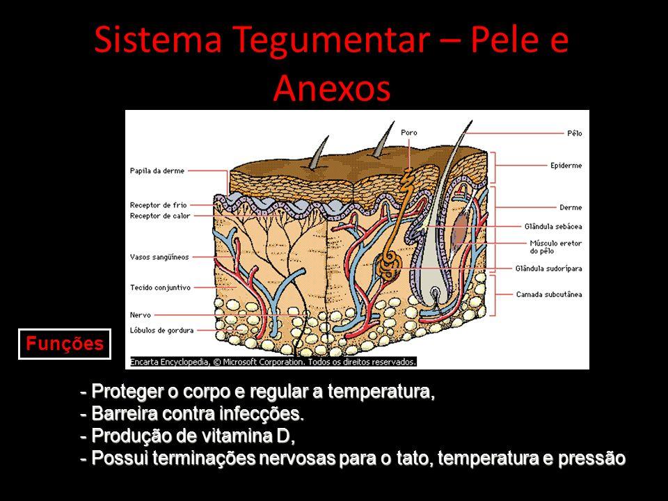 Sistema Tegumentar – Pele e Anexos - Proteger o corpo e regular a temperatura, - Barreira contra infecções. - Produção de vitamina D, - Possui termina