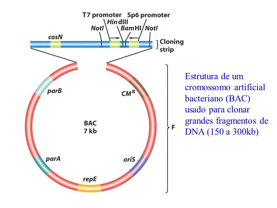 Estrutura de um cromossomo artificial bacteriano (BAC) usado para clonar grandes fragmentos de DNA (150 a 300kb)