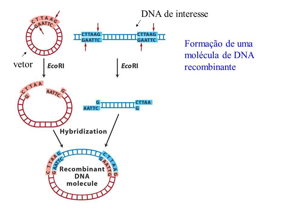 Vetores cosmidiais É um híbrido entre plasmídeos e o fago labda Vantagens: capacidade do plasmídeo de replicação autônoma Capacidade do fago de embalagem do cromossomo Capacidade de 35 a 45kb