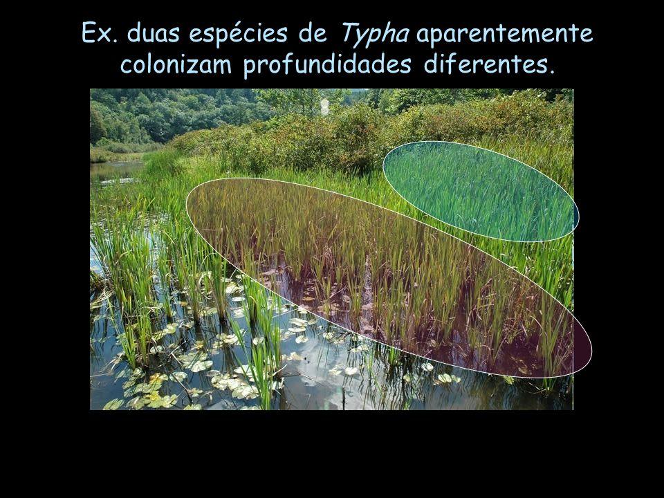 Ex. duas espécies de Typha aparentemente colonizam profundidades diferentes.