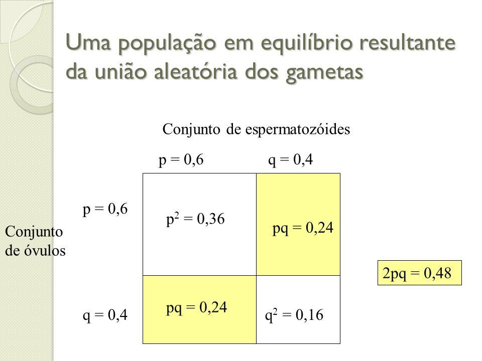 Uma população em equilíbrio resultante da união aleatória dos gametas Conjunto de espermatozóides Conjunto de óvulos p = 0,6 q = 0,4 p = 0,6 q = 0,4 p