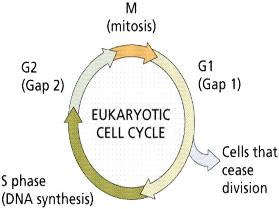 Crescimento Celular Ligação de um FC a seu receptor Ativação do receptor de FC Transmissão de sinal ao núcleo através de mensageiros secundários Ativação de fatores reguladores do DNA – duplicação do DNA e divisão celular (genes myc, jun e fos)