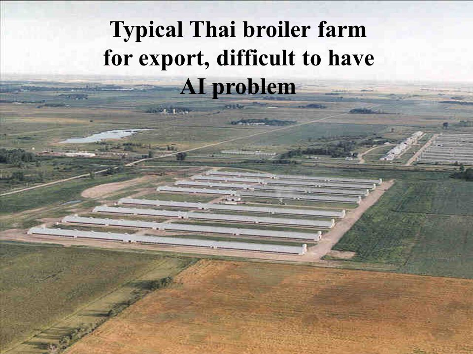 Typical Thai broiler farm for export, difficult to have AI problem