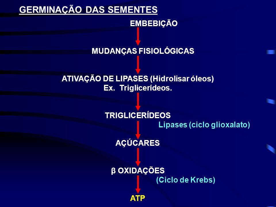 GERMINAÇÃO DAS SEMENTES EMBEBIÇÃO MUDANÇAS FISIOLÓGICAS ATIVAÇÃO DE LIPASES (Hidrolisar óleos) Ex. Triglicerídeos. TRIGLICERÍDEOS Lipases (ciclo gliox