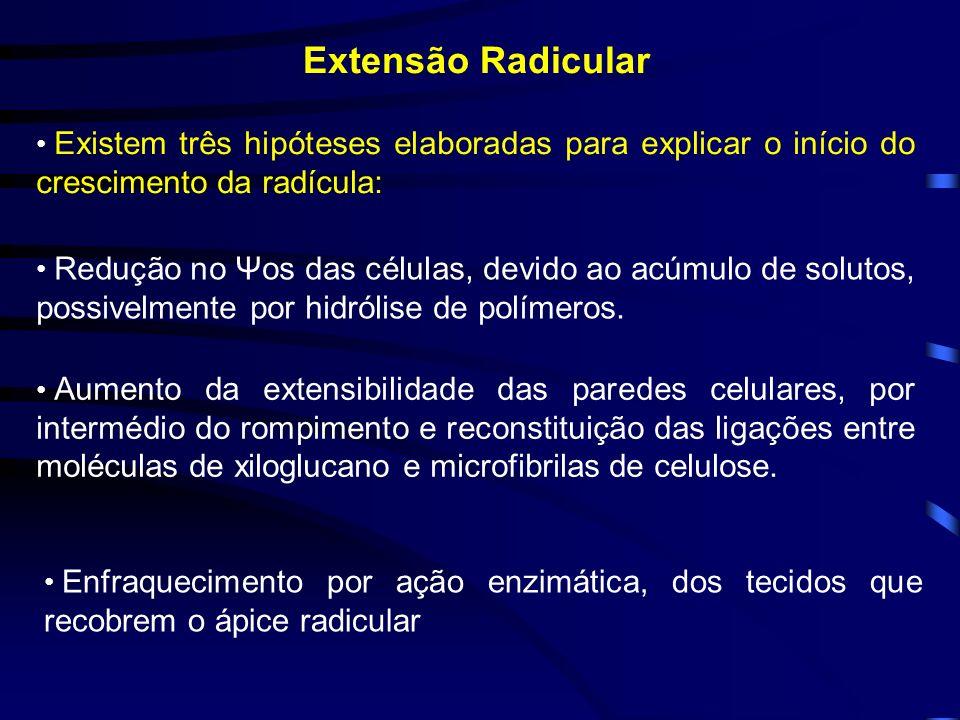 Extensão Radicular Existem três hipóteses elaboradas para explicar o início do crescimento da radícula: Redução no Ψos das células, devido ao acúmulo