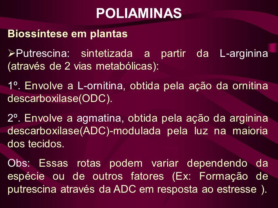 POLIAMINAS Biossíntese em plantas Putrescina: sintetizada a partir da L-arginina (através de 2 vias metabólicas): 1º. Envolve a L-ornitina, obtida pel