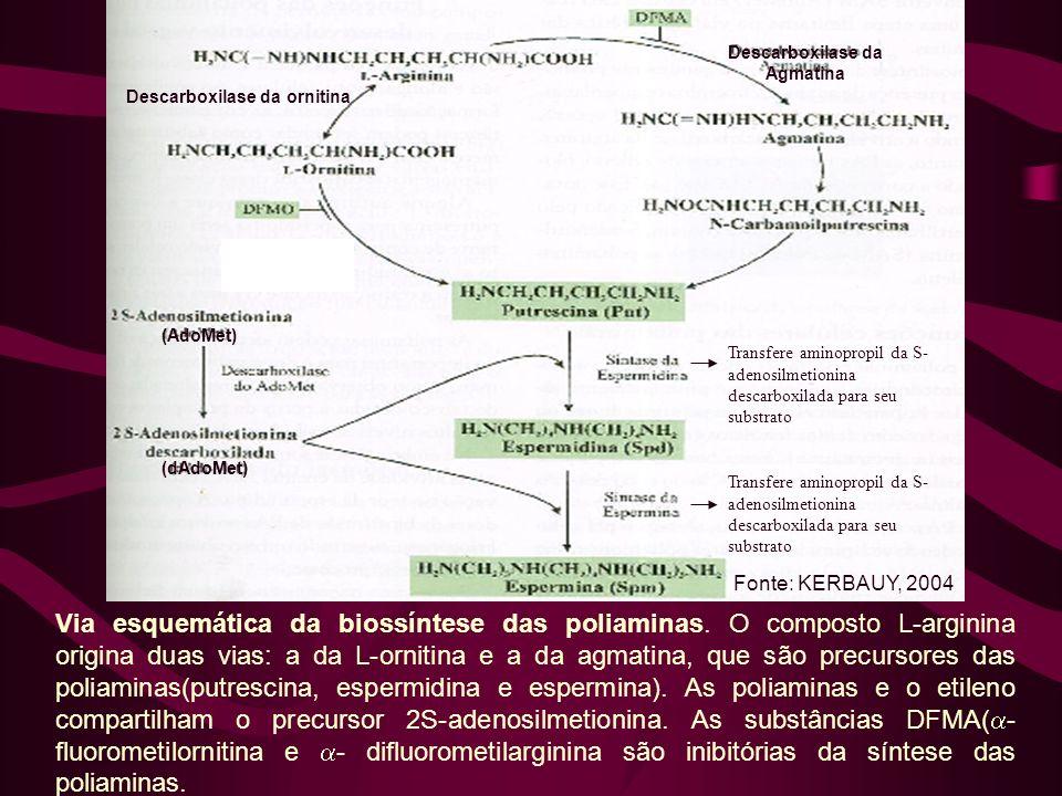 Via esquemática da biossíntese das poliaminas. O composto L-arginina origina duas vias: a da L-ornitina e a da agmatina, que são precursores das polia