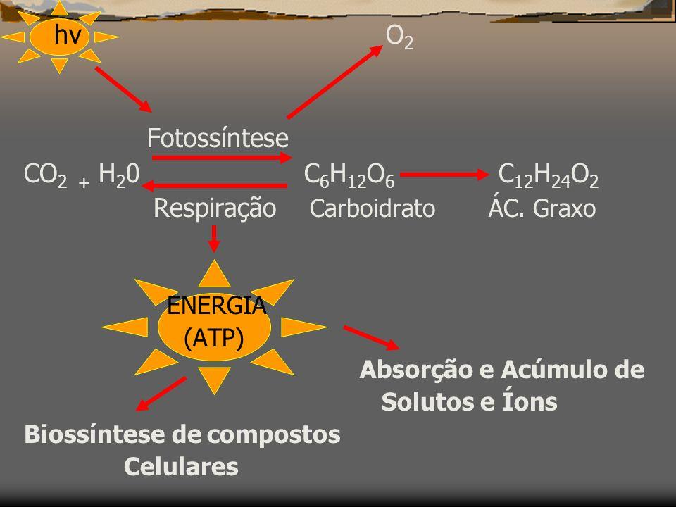 A) RAÍZES: As raízes respiram intensamente, sendo o principal substrato os AÇÚCARES (vem pelo floema) produzidos na fotossíntese.