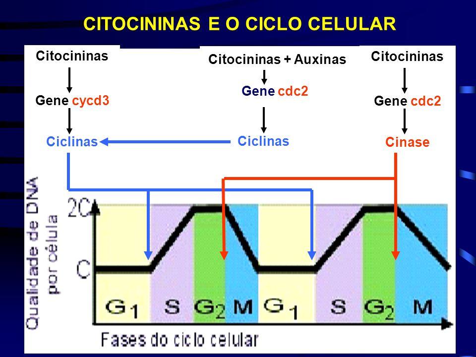 CITOCININAS E O CICLO CELULAR CKs Gene cycd3 Ciclinas InterfaseMitose G1SG2M 5731 Cinase Gene cdc2 Cks Ciclinas Gene cdc2 Cks + Axs