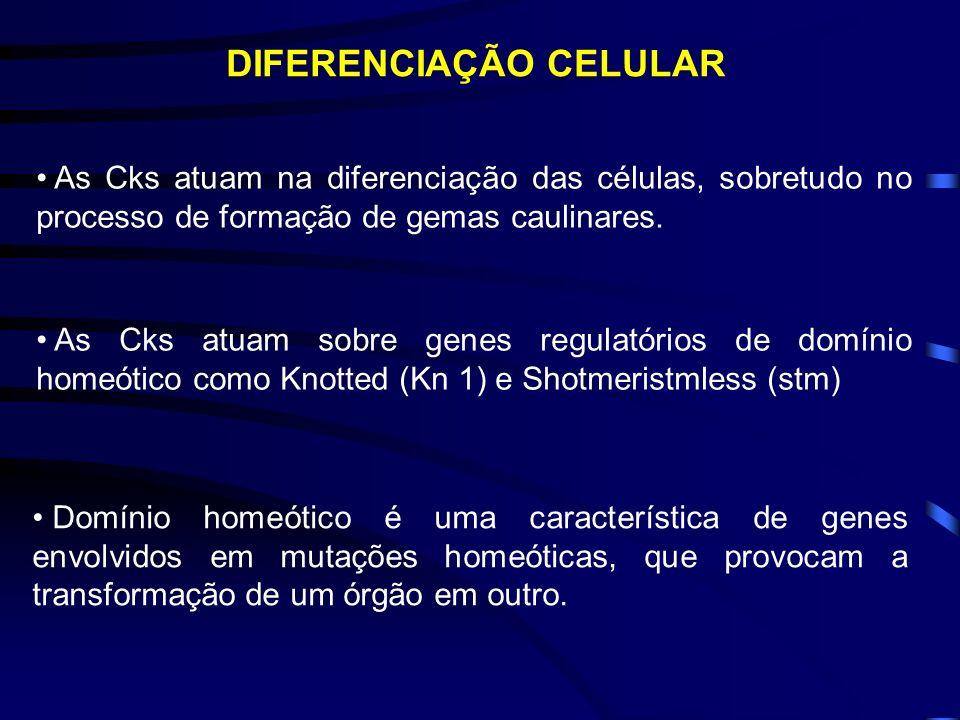 CITOCININAS E O CICLO CELULAR Citocininas Gene cycd3 Ciclinas Citocininas Gene cdc2 Cinase Citocininas + Auxinas Gene cdc2 Ciclinas