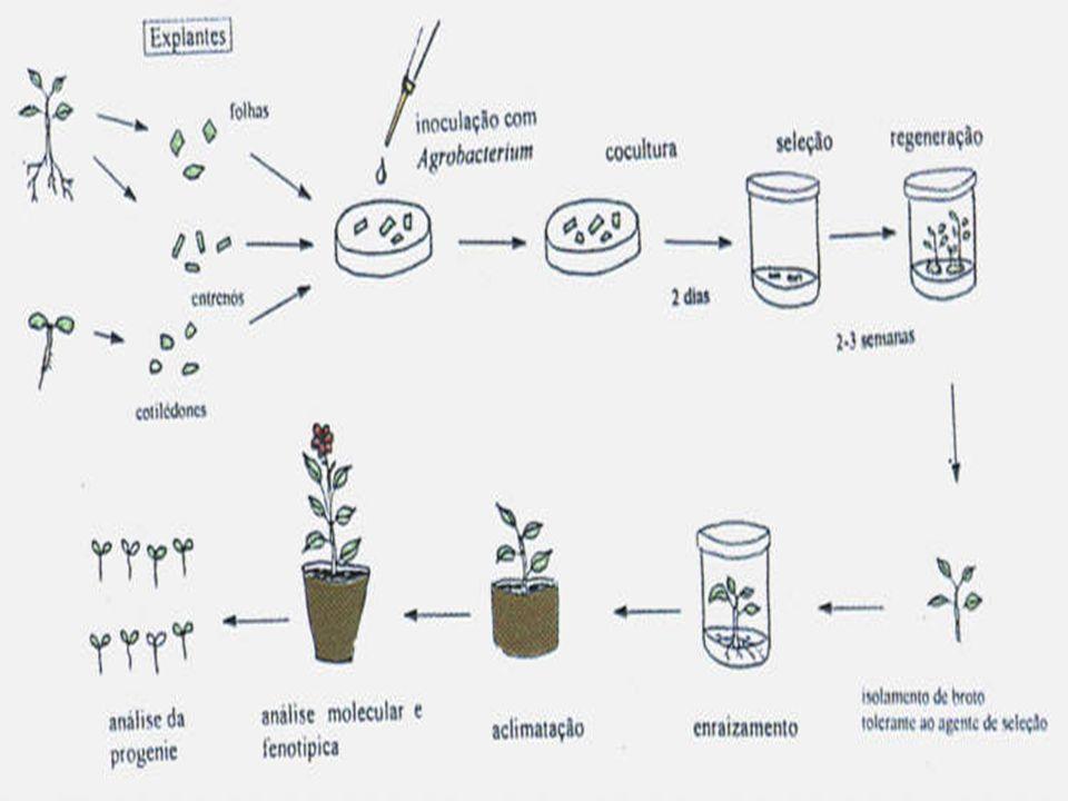 Galha do tomateiro Fonte: Fisiologia Vegetal, Taiz & Zeiger, 2004
