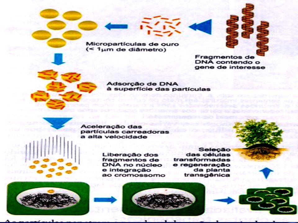 Partículas de tungsténio ou ouro revestidas com plasmídeo Ti Células vegetais Canhão de particulas A penetração das partículas de tungsténio nas célul