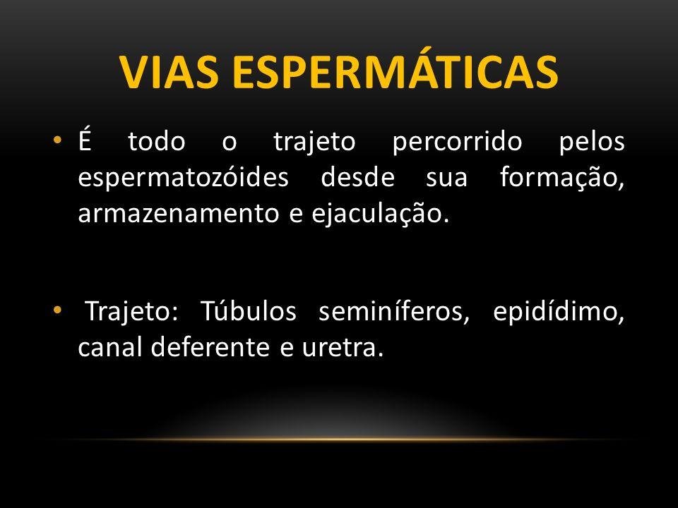 TESTÍCULOS Glândulas mistas Espermatozóide Exo Testosterona Endo Os testículos possuem divisões chamados de lóbulos testiculares que podem chegar até