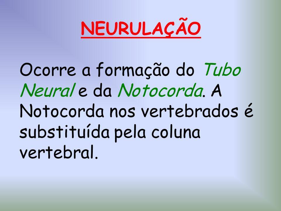 NEURULAÇÃO Ocorre a formação do Tubo Neural e da Notocorda. A Notocorda nos vertebrados é substituída pela coluna vertebral.